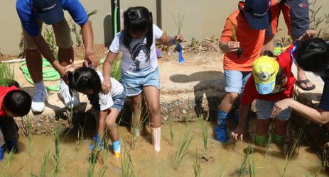 Rice planting is one of many activities which could be enjoyed by children when staying in the best hotel with exclusive mountain view in Sentul area